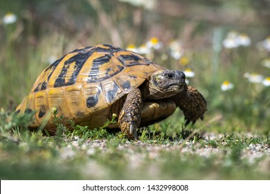 Eastern Hermann's tortoise - Testudo hermanni boettgeri. Hermann's tortoises are small to medium-sized tortoises from southern Europe.