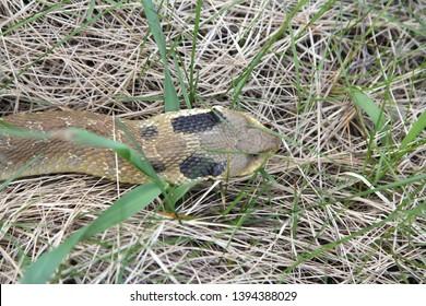 Eastern Hognose Snake with flattened head sliding through the weeds.