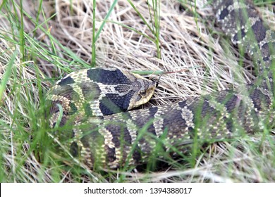 Eastern Hognose snake, also known as a Puff Adder, showing a flattened head.
