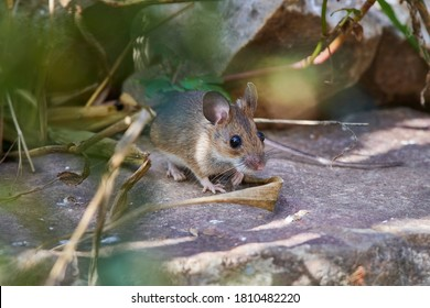Eastern House Mouse, Mus musculus