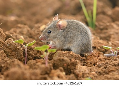 Eastern House Mouse - Mus musculus on the ground, brown background