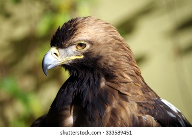 Eastern imperial eagle portrait
