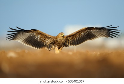 Eastern Imperial Eagle with spread wings