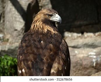 The eastern imperial eagle's (Aquila heliaca)