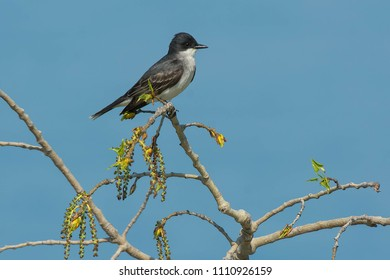 Eastern Kingbird perched on a branch. Tommy Thompson Park, Toronto, Ontario, Canada.