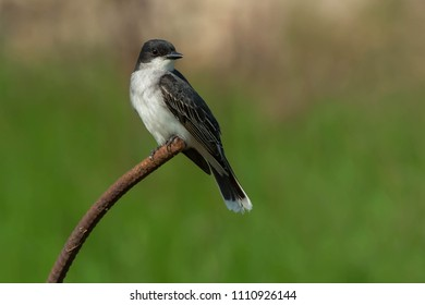 Eastern Kingbird perched on an old, rusty piece of rebar. Tommy Thompson Park, Toronto, Ontario, Canada.