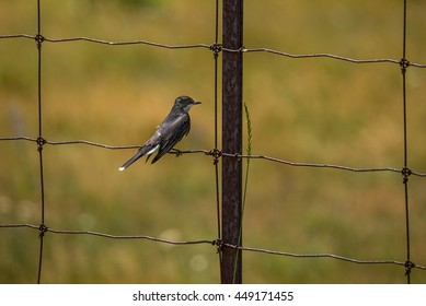 Tyrannus images stock photos vectors shutterstock eastern kingbird tyrannus tyrannus thecheapjerseys Gallery