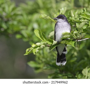 Tyrannus images stock photos vectors shutterstock an eastern kingbird tyrannus tyrannus perched on a branch shot in waterloo thecheapjerseys Gallery
