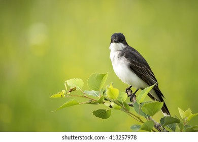 Tyrannus images stock photos vectors shutterstock eastern kingbird tyrannus tyrannus perching on the end of a leafy tree branch thecheapjerseys