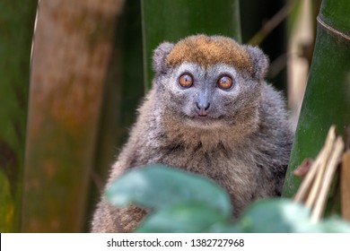 Eastern lesser bamboo lemur (Hapalemur griseus),  in its natural environment in Madagascar