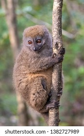 The eastern lesser bamboo lemur (Hapalemur griseus), also known as the gray bamboo lemur, is a small lemur endemic to Madagascar, with three known subspecies.