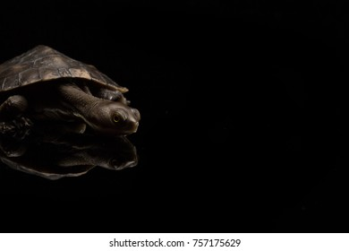 Eastern Long Necked Turtle isolated on black background with reflection