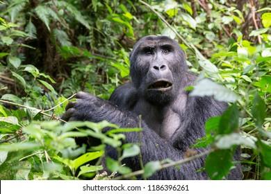 eastern lowland gorilla, grauer gorilla, Chimanuka family