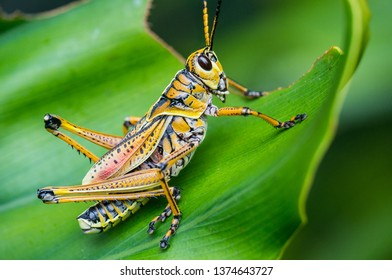 Eastern lubber grasshoppers are found throughout the southern USA. They are voracious plant eaters, and have few predators due to a foul smelling secretion.