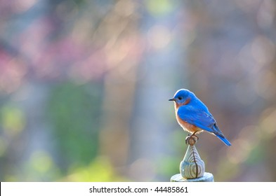 Eastern  male Bluebird perched on top of birdhouse in Spring