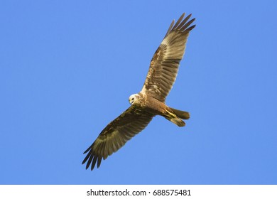 Eastern Marsh Harrier flying on blue sky background.