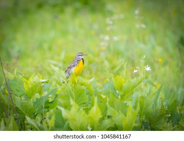 Eastern Meadowlark sitting in the tall grass at sunset and hunting insects.