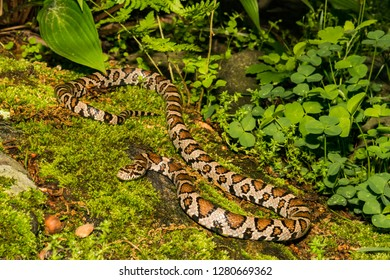 Eastern Milk Snake (Lampropeltis triangulum)