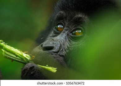An eastern mountain gorilla baby feeding at Bwindi Impenetrable National Park, Uganda.
