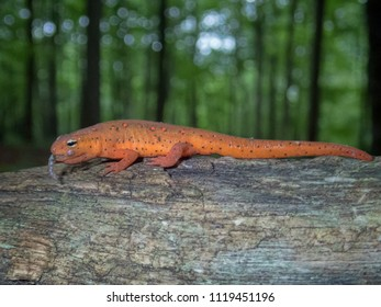 An Eastern Newt (Notophthalmus viridescens) eft eating a worm, Bear Hollow Mountain Wildlife Management Area, Franklin County, Tennessee, USA