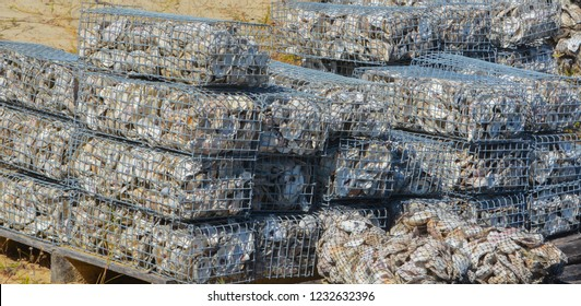 Eastern Oyster recycling project, St Johns County Florida