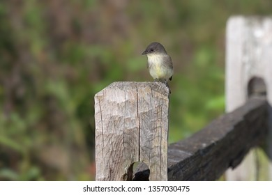 An Eastern Phoebe in brownish-gray above and off-white beast feathers, stands on top of a wooden fence post looking out into a green field seraching insects.