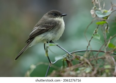 An Eastern Phoebe is perched on the wire of a deformed fence. Taylor Creek Park, Toronto, Ontario, Canada.