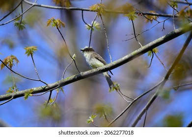 An Eastern Phoebe perches in a branch in the Stony Creek Metropark, Shelby Township, Michigan.
