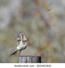 Eastern phoebe (Sayornis phoebe) with a brown winter grasshopper (Amblytropidia mysteca), tossing in air, soft bokeh background 1 out of 3 in a series