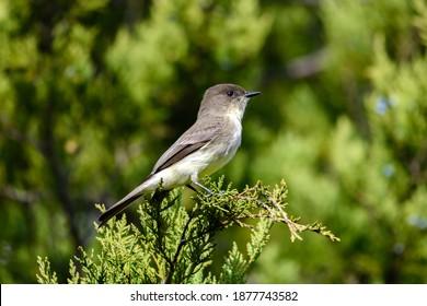 Eastern phoebe - Sayornis phoebe - perched on a juniper branch