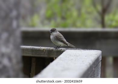 Eastern Phoebe (sayornis phoebe) perched on wooden railing
