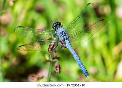 Eastern pondhawk dragonfly (Erythemis simplicicollis) - Bluebird Springs Park, Homosassa, Florida, USA