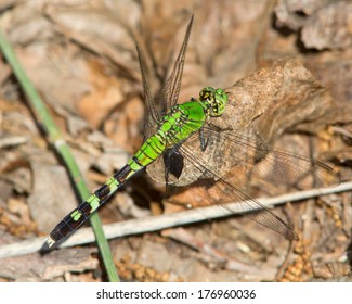 Eastern Pondhawk (Erythemis simplicicollis) perched on a dead leaf near Junction in Kimble Couty, in central Texas.