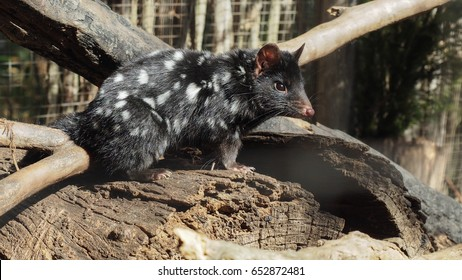 Eastern quolls edge closer to extinction but it's not too late to save, Australia is home to quolls,