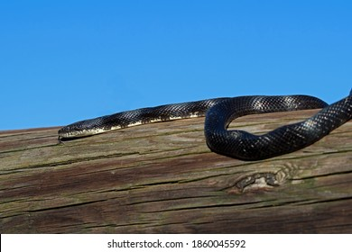 Eastern rat snake or black rat snake on a log.  This snake is the largest species of snake found in Pennsylvania USA. Adults can be 3½ feet to over 8 feet long and are black or dull brown.