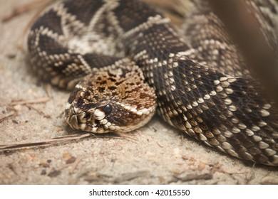 eastern rattle snake