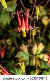 Eastern Red Columbine, Wild Columbine - Aquilegia canadensis, Wisconsin wildflower