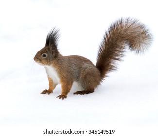 eastern red little squirrel walking on winter deep snow