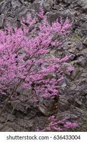 Eastern Redbud along stone cliff