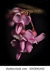 Eastern redbud (Cercis canadensis) closeup of a bloom cluster with black background.