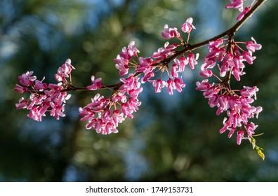 Östliche Redbud, oder östliche Redbud Cercis canadensis violette Frühlingsblüte bei sonnigem Tag. Nahaufnahme von Judas-Baum-rosa Blumen. Selektiver Fokus. Naturkonzept für Design. Platz für Ihren Text