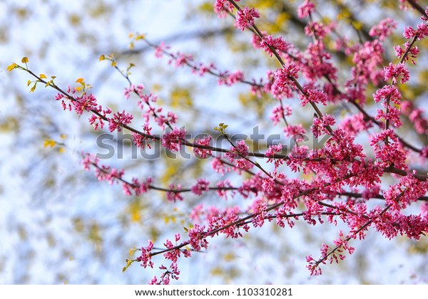 Eastern Redbud Flower (Cercis Canadensis) branch in Spring time
