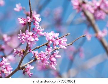 Eastern Redbud flowering in early spring