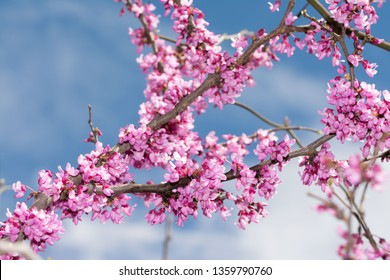 Eastern Redbud tree branches covered in blooms in spring, against blue sky
