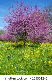Eastern Redbud Tree (Cercis canadensis) with Wild Mustard (Brassicaceae)