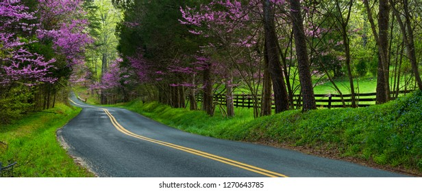 Eastern redbud trees (Cercis canadensis) and eastern redcedar (Juniperus virginiana) along road in Albemarle County, Central Virginia.