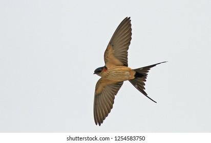 Eastern Red-rumped Swallow (Cecropis daurica japonica) in flight