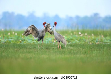 Eastern Sarus Crane in breeding season at Huai Chorakhemak Reservoir Non-hunting Area,Burirum,Thailand with Copy space