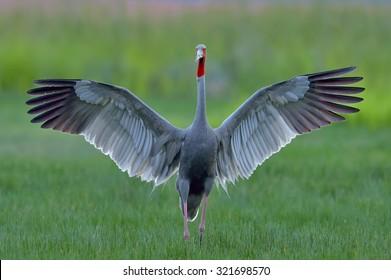 Eastern Sarus Crane (Grus antigone) which extinct in the wild in the 1980s open wings in field at Huay Jorrakaemak Reservoir Non-Hunting Area,Burirum,Thailand
