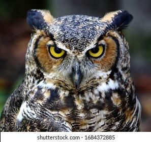 Eastern screech owl close up head shot. Megascops asio.